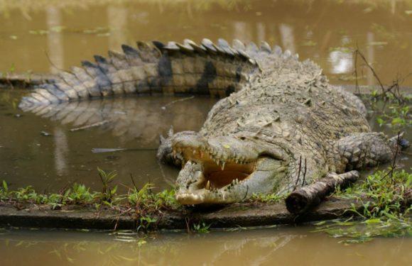 Sinac sin estudios de poblaciones de cocodrilos en Costa Rica